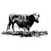Fattening Cattle in your Backyard