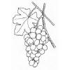 Bible Foods - Grapes